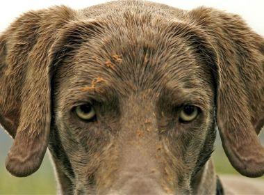 Die Canine atopische Dermatitis